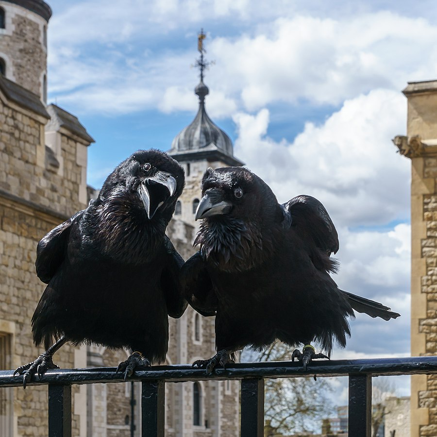 2016 Picture of the Year Winner, Jubilee and Munin, Ravens, Tower of London 2016-04-30