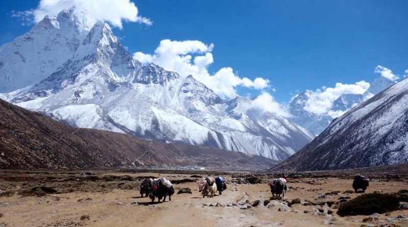 Himalayan yaks in the Everest region