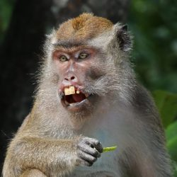 A monkey eating what could be a sugar pea