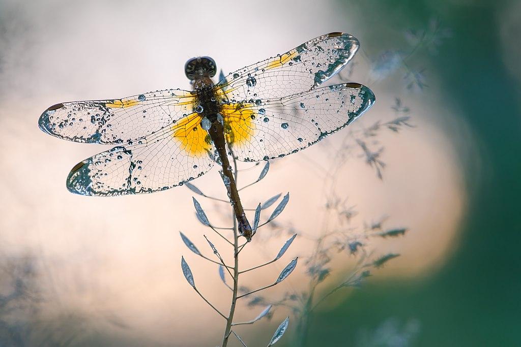 A yellow-winged darter in the Ukraine's Puscha-Vodystsky Park.