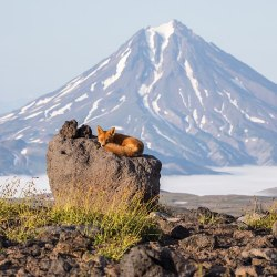 A red fox surveys the terrain from its vantage point atop a boulder, with the stratovolcano Vilyuchik far behind it.