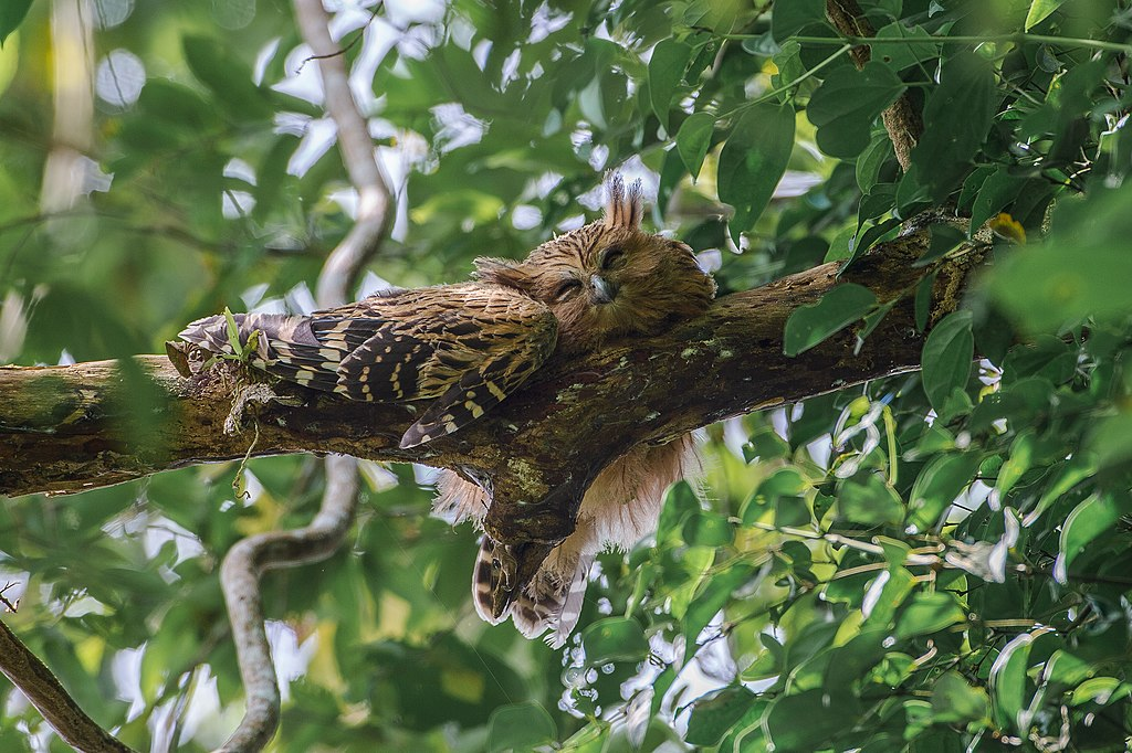 An Malayan owl, also called the Malay eagle-owl, engaging in its natural daytime routine.