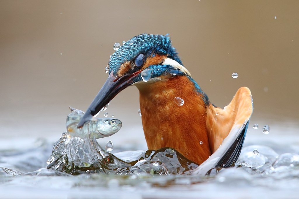 A common kingfisher plucking a fish from the Po River belt in Italy.