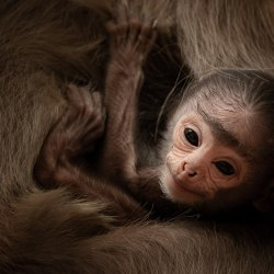 A baby tufted gray langur relaxes in its mother's fur at Yala National Park.