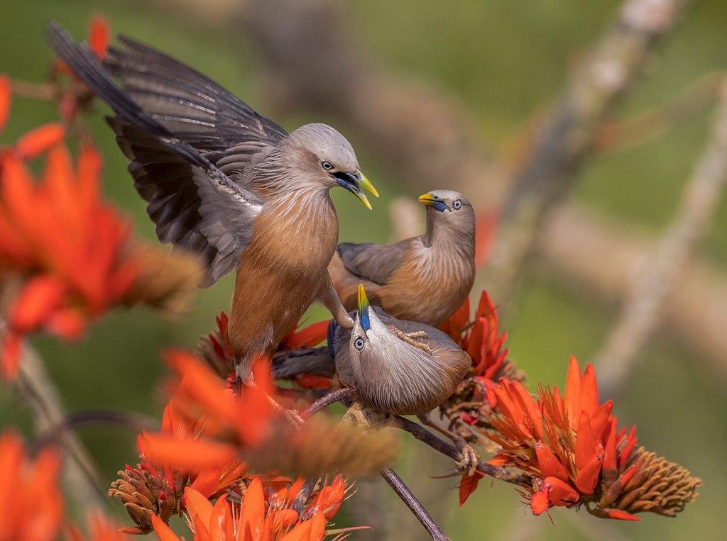 Chestnut-tailed starling (Sturnia malabarica), Satchari National Park