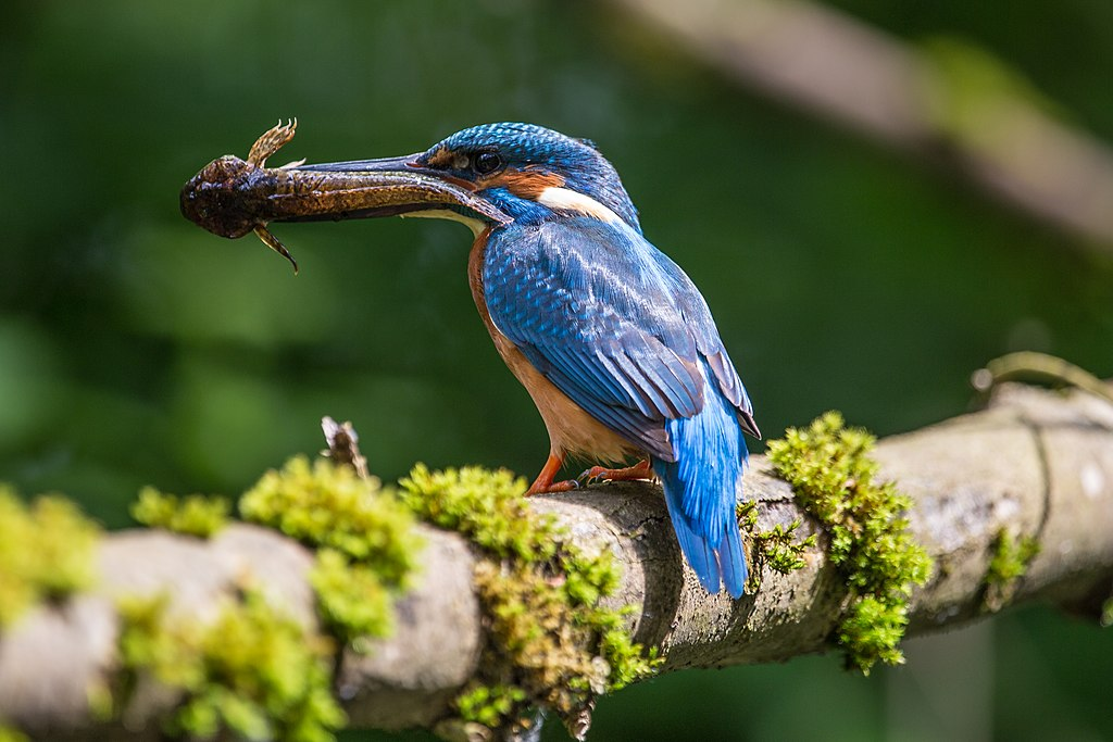 Common kingfisher was captured in May in the Bergstraße-Odenwald Nature Park in Southern Germany.