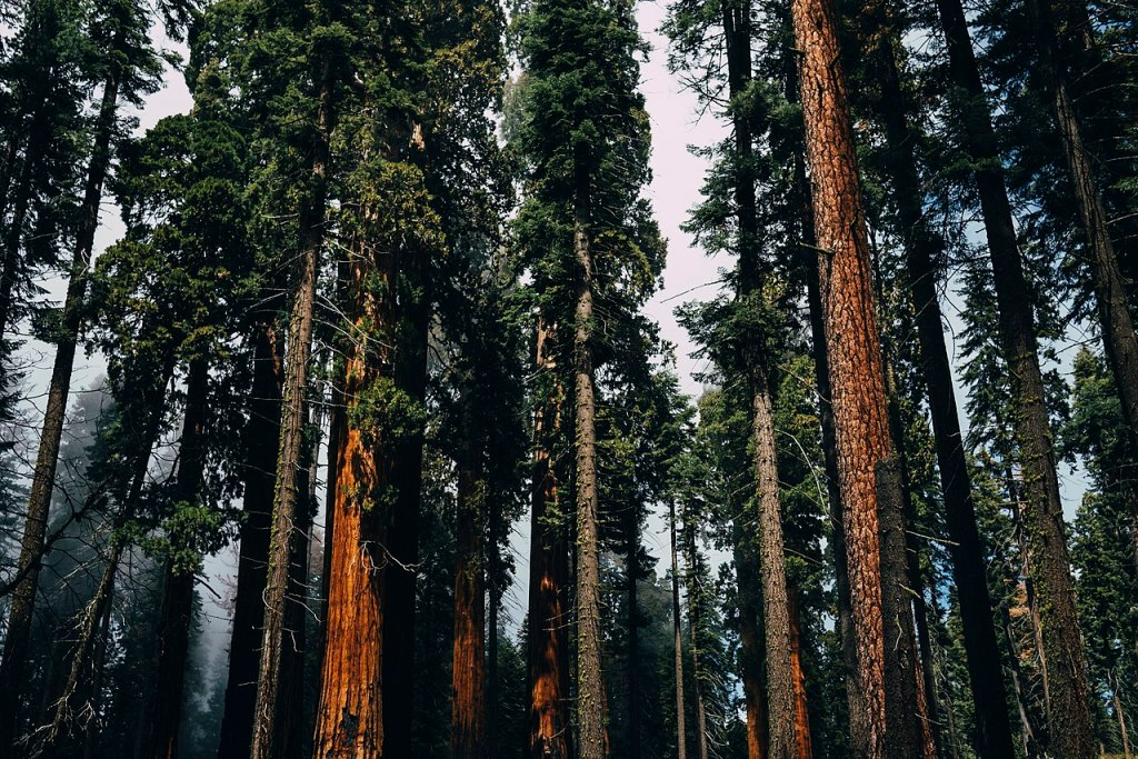 Trees in Sequoia National Park